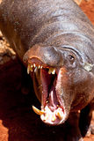 pigmy liberiensis hippopotamus hexaprotodon Стоковая Фотография