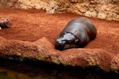 pigmy liberiensis hippopotamus hexaprotodon Стоковое Изображение RF