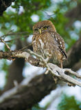 Pigmy Owl Stock Image