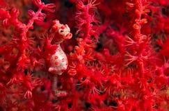 Pigmy Seahorse - Hippokamp Bargipanti stockbilder
