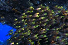 Pigmy sweeper fish. Parapriacanthus ransonneti underwater in the indian ocean Stock Photos