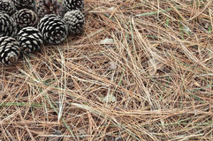 Pigna caduta sulla terra fra i ramoscelli asciutti sulla terra Fotografie Stock Libere da Diritti