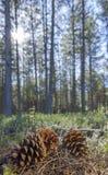 Pigna con la foresta ad alba Fotografia Stock Libera da Diritti