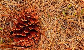 Pigna sugli aghi del pino Fotografia Stock Libera da Diritti
