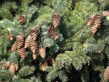 Pigne - Pine cones.  Stock Image