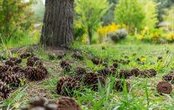 Pigne su erba verde in un giardino verde fotografia stock