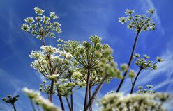 Pignut plant (Comopodium majus) Royalty Free Stock Photos
