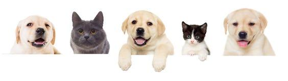 Pigoli di Labrador del cucciolo e del gattino Fotografia Stock Libera da Diritti