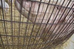 Pigpenstaket Doubles som en skrapande stolpe för modersvin Fotografering för Bildbyråer