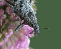 pigra cleonis стоковые фотографии rf