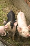 Pigs. At the farm stock photography