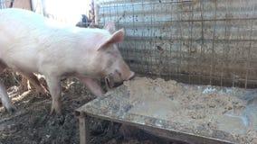 pigs stock video