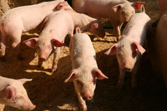 Pigs. Shot of few pigs in the piggery on the farm yard Stock Photo