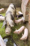 Pigs. At the farm on rural place stock photography
