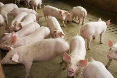 Free Pigs Stock Photography - 15843622