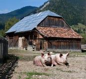Pigs Stock Image