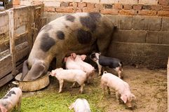 Pigs Stock Photography