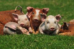 Pigs. Colorful pigs in the field Royalty Free Stock Photos