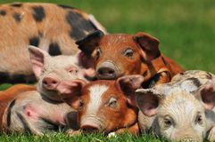Pigs. Colorful pigs in the field Stock Images