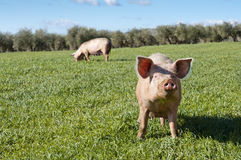 Pigs. Two pigs grazing in field. Picture taken in Ciudad Real Province, Spain Stock Images