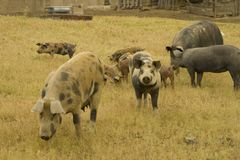 Pigs. Several pigs in a field, some are very young. It's a special kind of pig much apreciated in Portugal and Spain Royalty Free Stock Photography