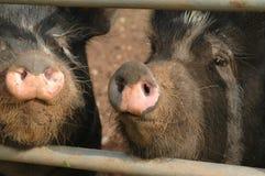 pigs Royaltyfri Bild