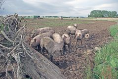 Pigs. Group of pigs on a pig farm Royalty Free Stock Images