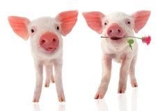 Free Pigs Stock Photography - 48898222