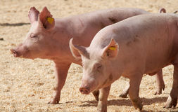 Pigs. Two pink thoroughbred pigs running on stage stock photo