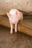 Pigs. Crossbreed pig Land race and large white. Kafuie  Zambia Africa Royalty Free Stock Photos