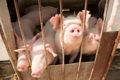 pigs Arkivfoton