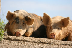 Pigs. Two pigs lay on ground Stock Images
