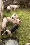 Pigs Royalty Free Stock Photography