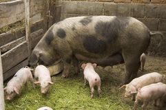 Pigs. At farm royalty free stock photo