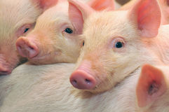 Pigs. Who are photographed on one of farms Royalty Free Stock Photos