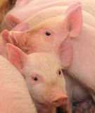 Pigs. Who are photographed on one of farms Royalty Free Stock Photography