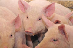 Pigs. Who are photographed on one of farms Royalty Free Stock Photo