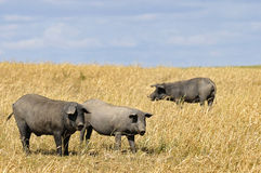 Pigs. Black pigs in a field with cloudy skies royalty free stock photos