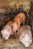 Pigs. Three pigs into a piggery stock image