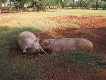 pigs Royaltyfri Fotografi