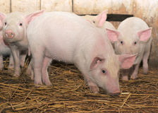 Pigs. Some pigs who are in a shed Stock Images