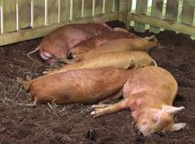 Pigs Asleep Royalty Free Stock Photography