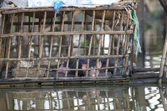 Pigs in Bamboo Cage on water Stock Image