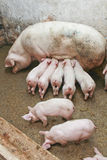 Pigs in barn Royalty Free Stock Images