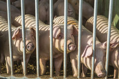 Pigs in the barn at a farm in the netherlands behind bars agriculture europe Stock Images