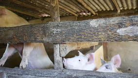 Pigs in barn. Hungry pigs in barn waiting to be fed stock video