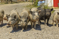 Pigs in a barnyard in the village Royalty Free Stock Photos