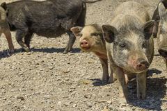 Pigs in a barnyard in the village. Pigs in the barnyard in the village Royalty Free Stock Image