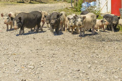 Pigs in a barnyard in the village Royalty Free Stock Photo
