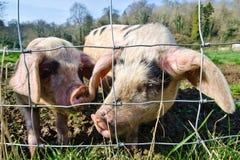 Pigs. Beautiful piglets at a farm Stock Photo